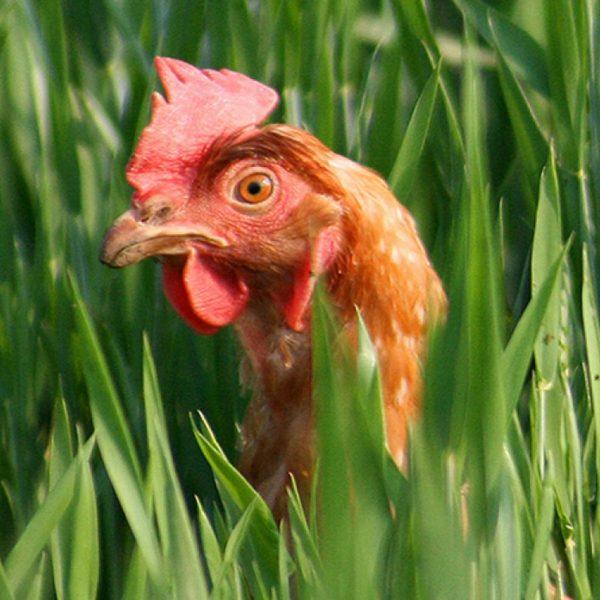 avicoltura OK-min